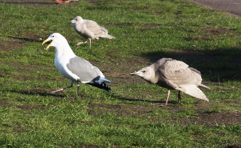 Gulls, North Coast - I don't know WHAT that second gull is doing!