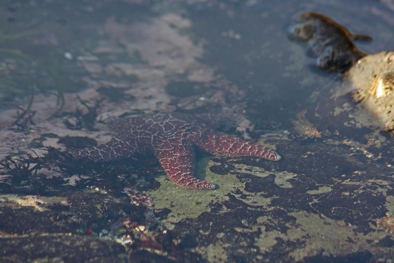 Tidepool starfish