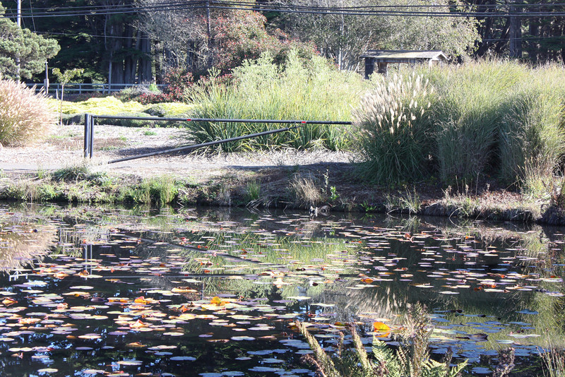 Mendocino Botanic Garden - parking lot pond