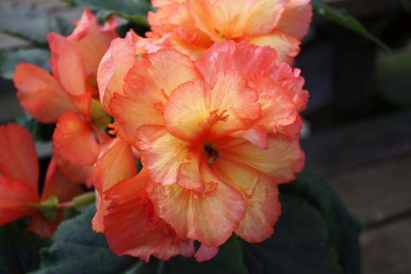 Fiberous begonia