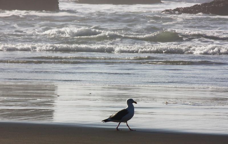 Gull, North Coast beach