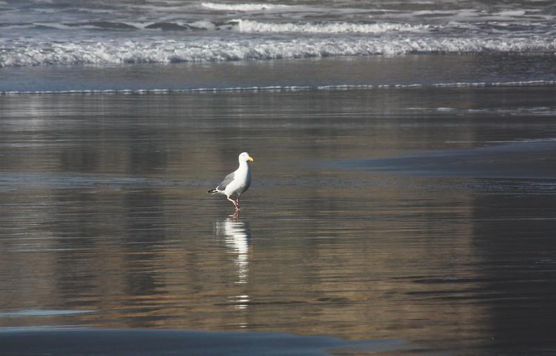Gull, North Coast