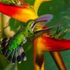 Hummingbird<br /> Mahogany Bay, Roatan, Honduras