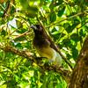 Brown Jay<br /> Bocab Eco Park, Belize