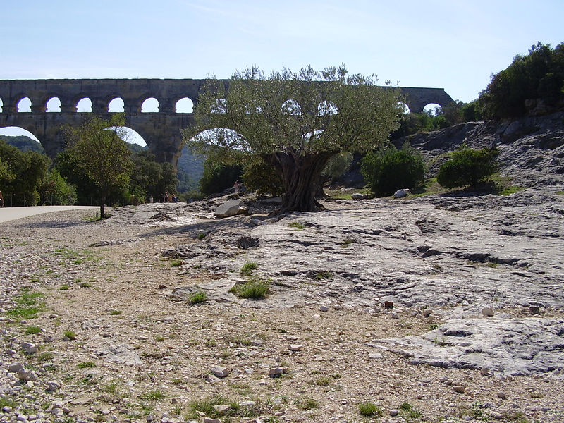 A very old olive tree in the foreground. The Pont du Gard behind.