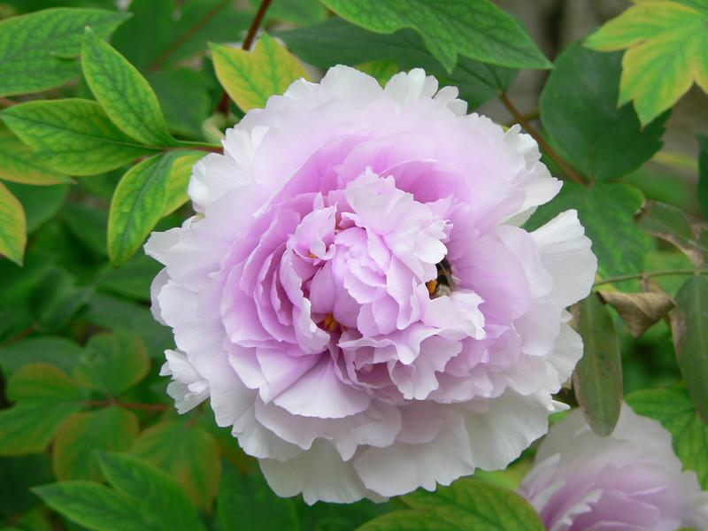 Flower, Giardini Botanici Hanbury