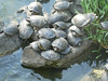 The fertile Florida turtles in the park Pheonix
