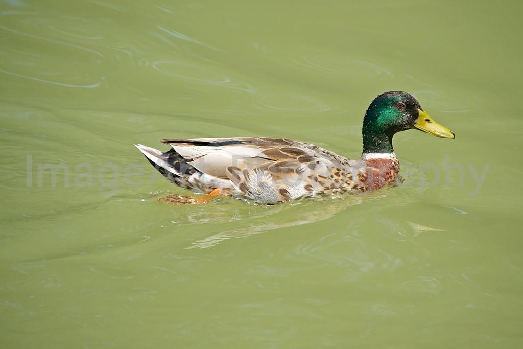 Duck - Canal du Midi