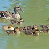 Ducks - Canal du Midi
