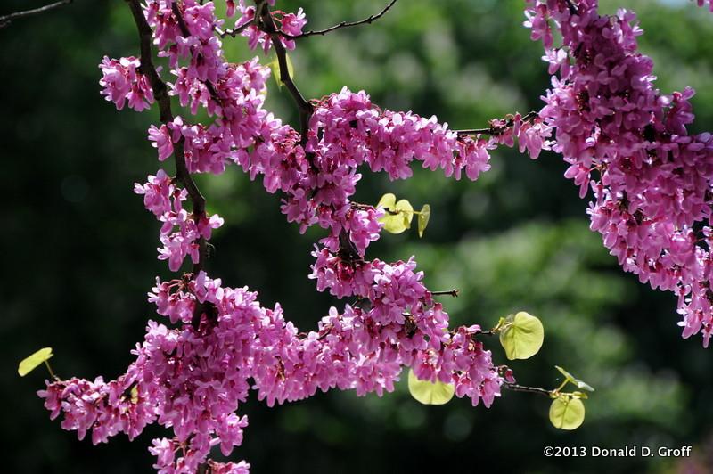 redbud blossoms, Fontenay.