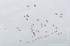 Provence-Alpes-Côte d'Azur. Parc Naturel Régional de Camargue. Parc Ornithologique de Pont de Gau: Greater Flamingo (<i>Phoenicopterus roseus</i>)