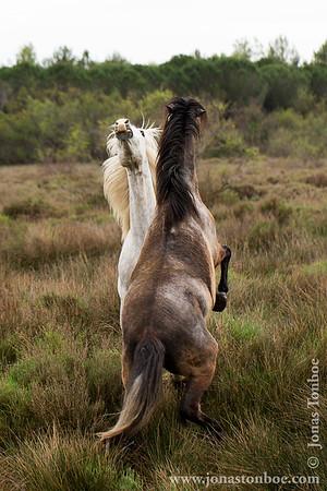 Languedoc-Roussillon. Petit Camargue. Horse fight