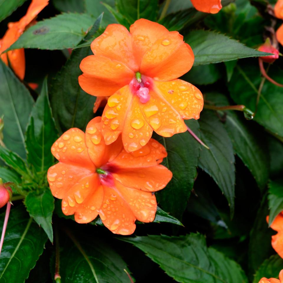 orange_flowers-2074