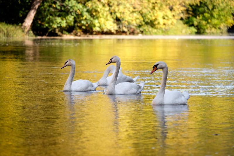 dordogne+swans-1666