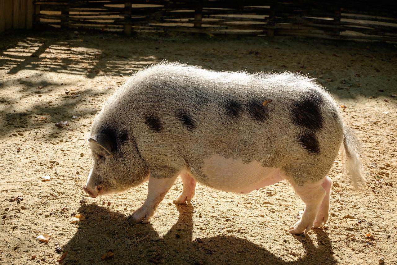 pig-1270