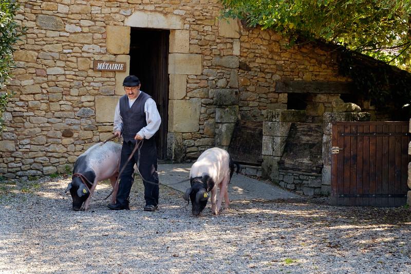 truffle_pigs-1308
