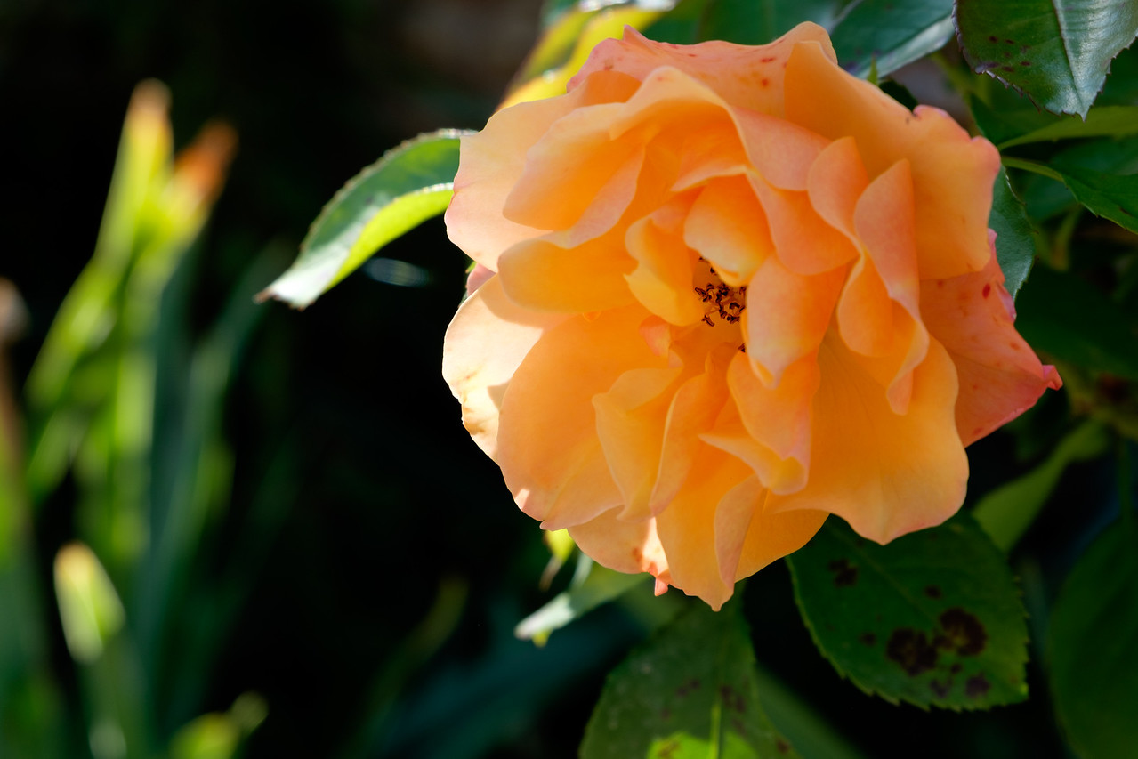 peachy_rose-1344