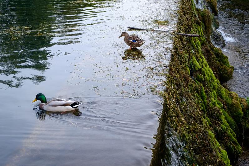 ducks-1423