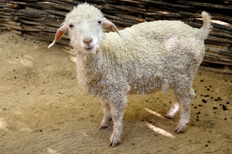sheep-1272