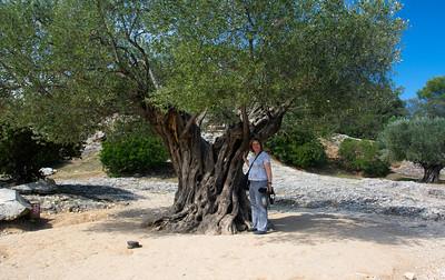at Pont du Gard, an ancient olive tree
