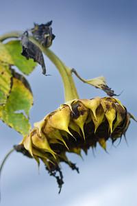 Sunflower / Päevalill