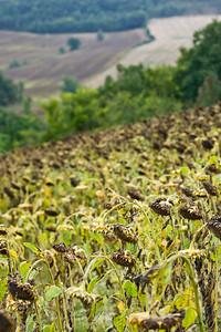 Sunflowers / päevalilled