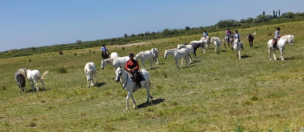 The Camargue horses, which are the last ridden work horse bred in France. They help us manage the herds. But for the horses it's not work, it's like a game. It's instinct. They're like sheep dogs.