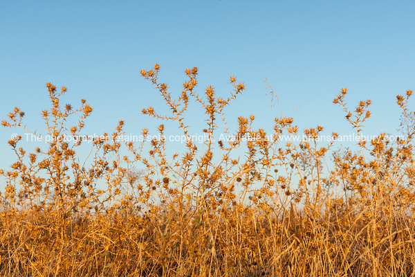 Brown dying wildflowers and grass in autumn southern France, Murviel Les Beziers