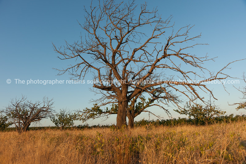 Deciduous tree in dry field of brown grass under blue sky