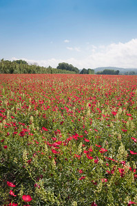 Fields of red flowers in Provence.