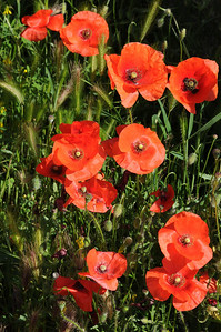 france poppies