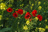 Normandy Poppies
