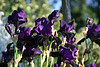 Black Irises 2