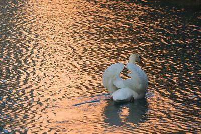 Swan on water