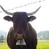Vaca Salers en Anjony