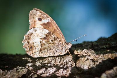 110817_Macro_Butterfly