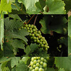 grapes - could be Loire valley