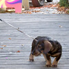 wired haired dachshund in St. Eulalie (photographer has dachshunds)