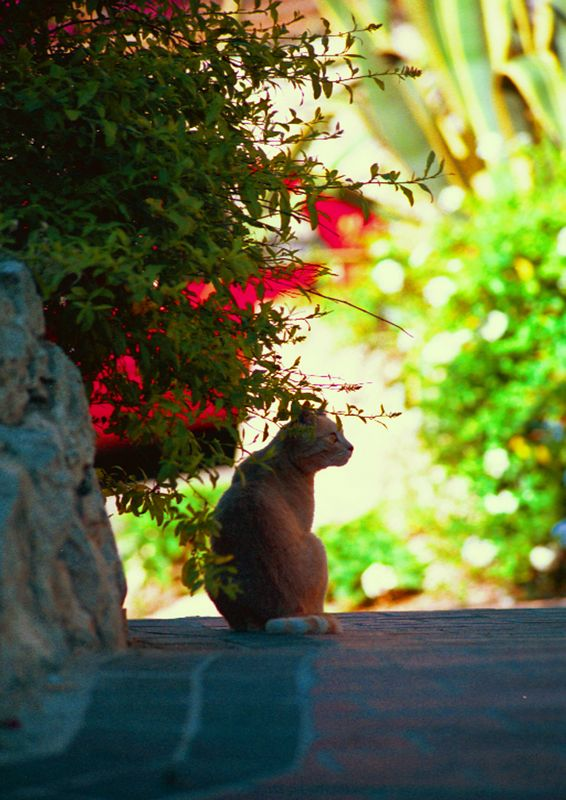Antibes Alley Cat