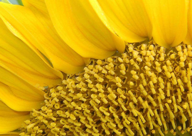 Sunflower in Bercy Park