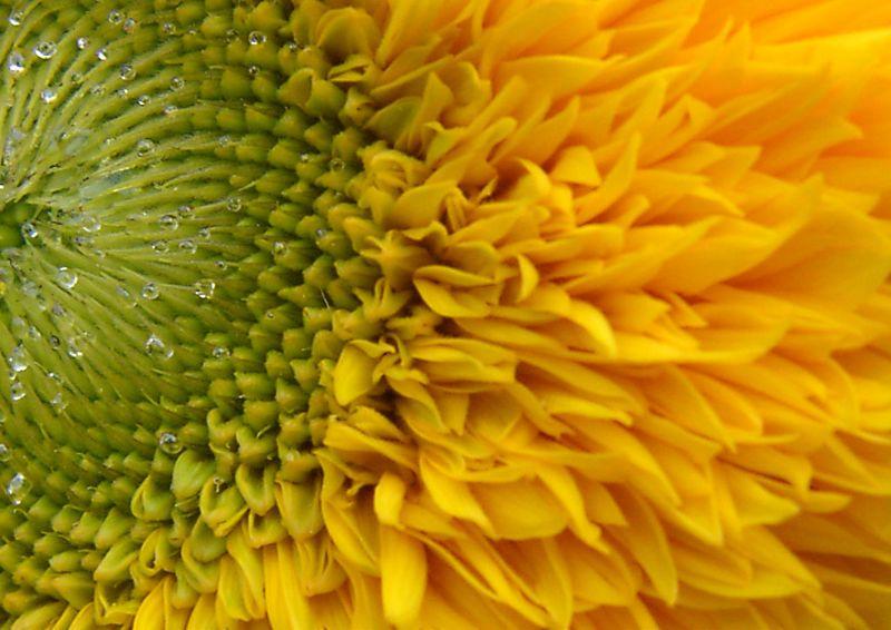 Sunflower in Bercy #4