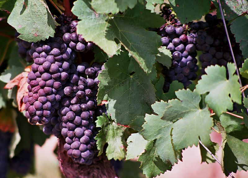 Grapes #2