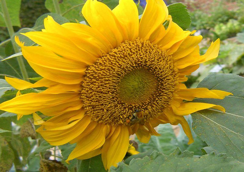 Sunflower in Bercy #3