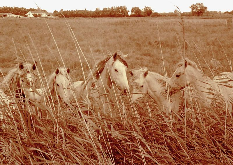 Wild Horses in the Camargue (France)