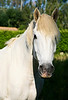 White Horse from Provence