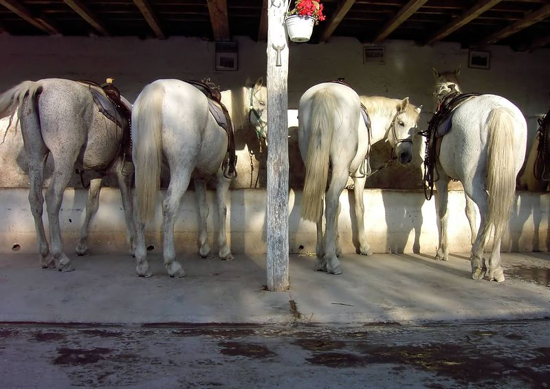 Four Horses in the Camargue, France