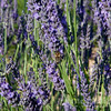 Honeybee and Lavadin (a lavender hybrid)