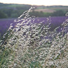 Wild Grass and Lavender