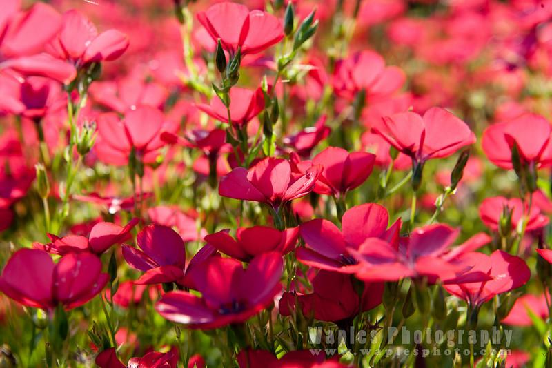 Fabulous Field of Flowers, near Gigondas