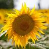 Sunflower, tournesol